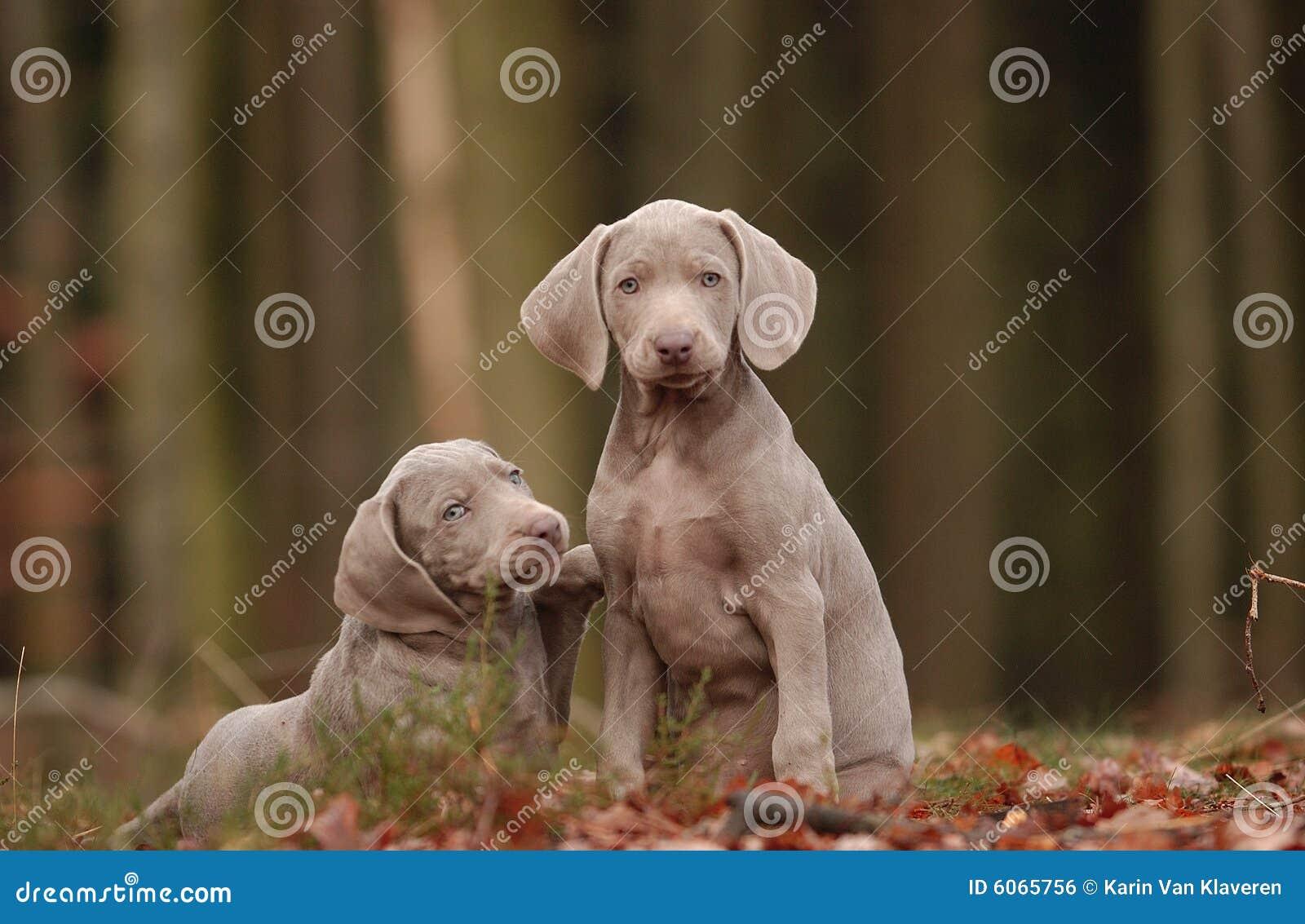 how to train a weimaraner puppy