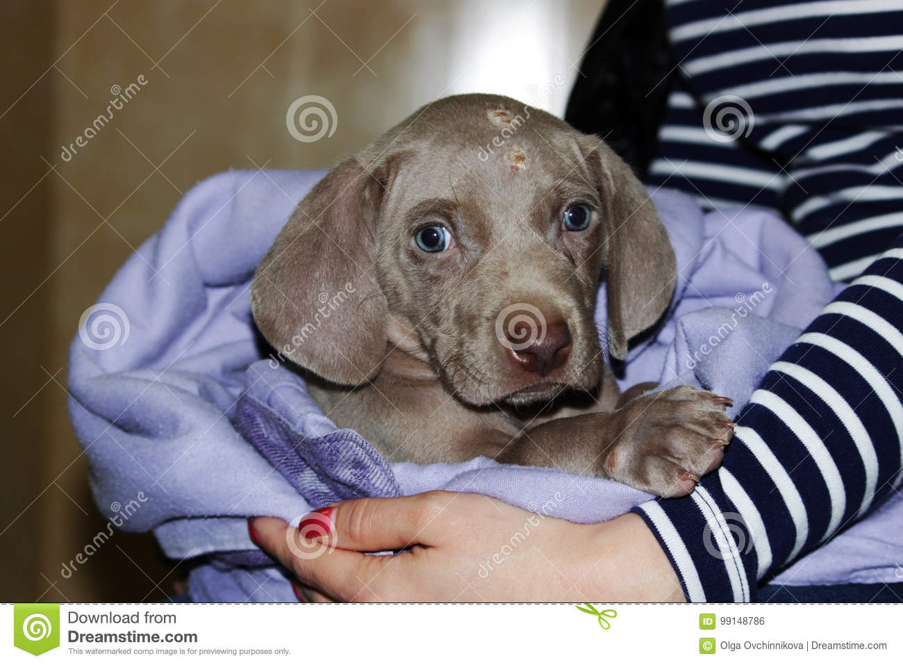 a weimaraner puppy with blue eyes dermatological problems of