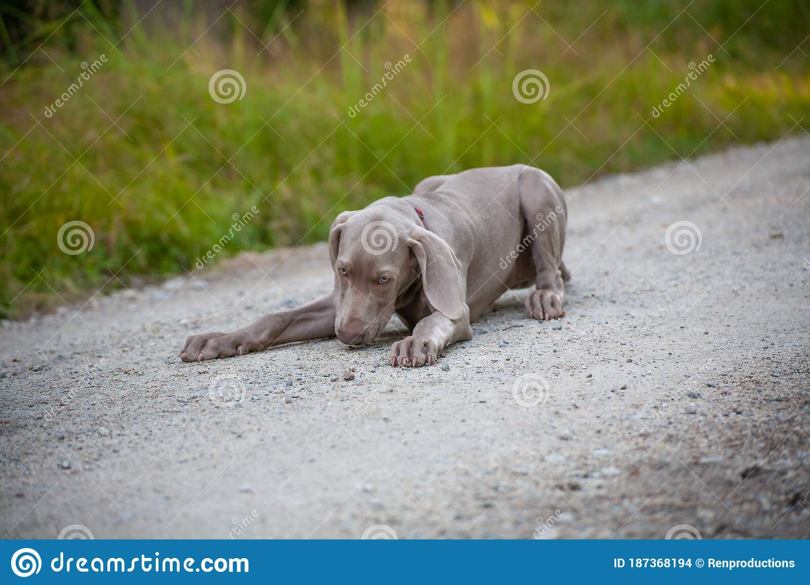 Weimaraner Puppy Takes His First Steps In Training Stock Photo Image Of Ghost Helper 187368194