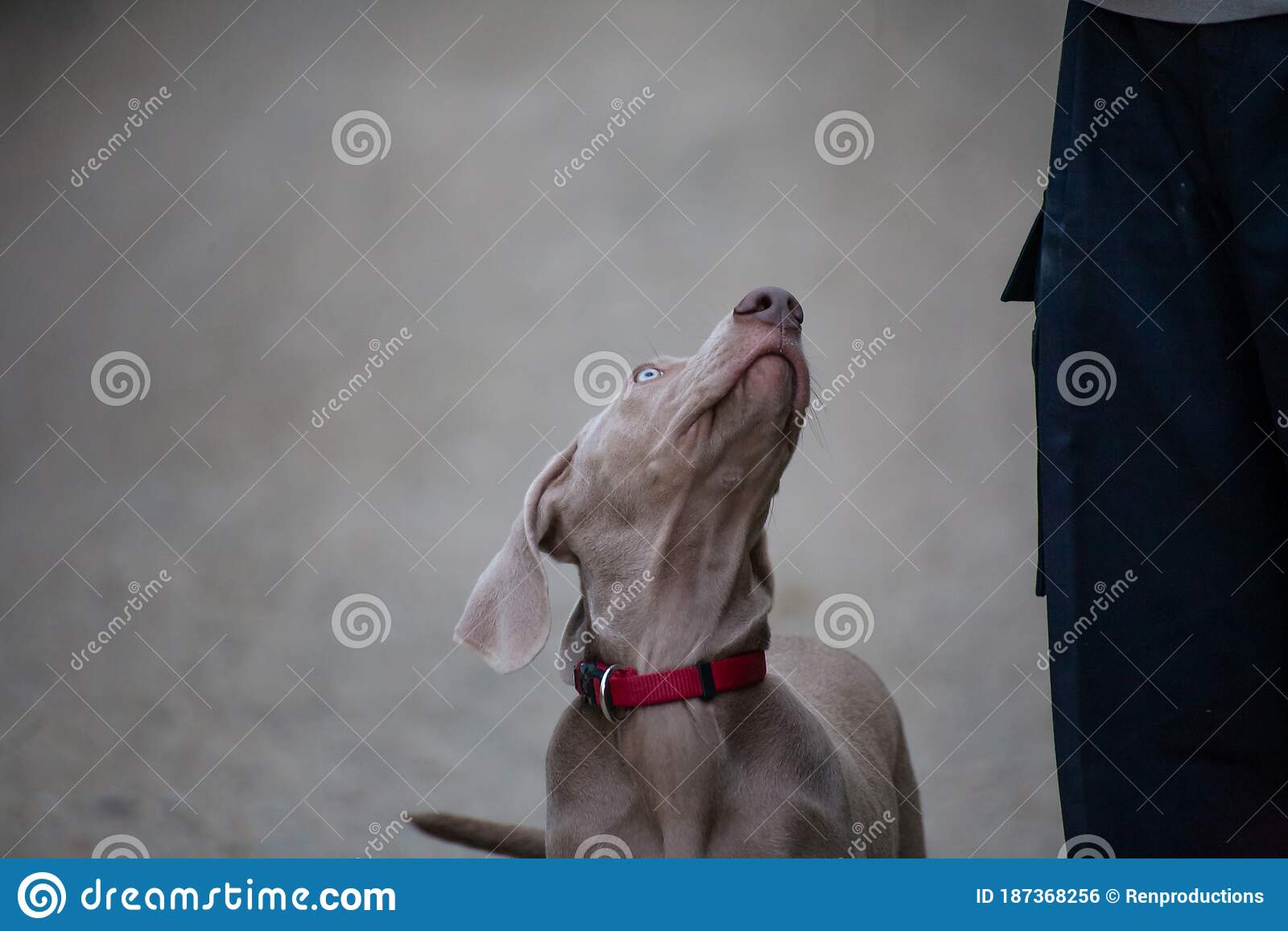 Weimaraner Puppy Takes His First Steps In Training Stock Photo Image Of Helper Birddog 187368256