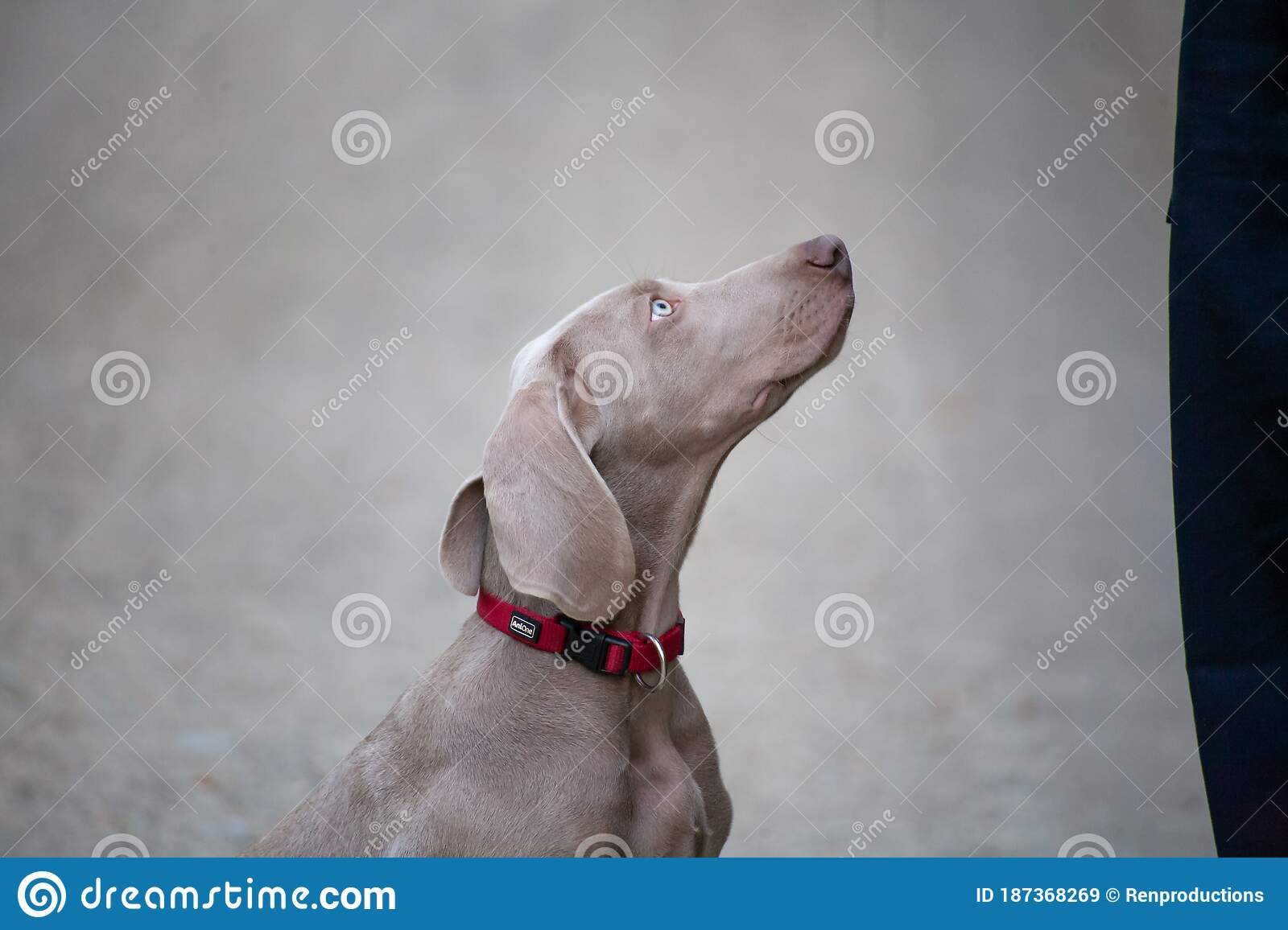 Weimaraner Puppy Takes His First Steps In Training Stock Image Image Of Familiy Nose 187368269