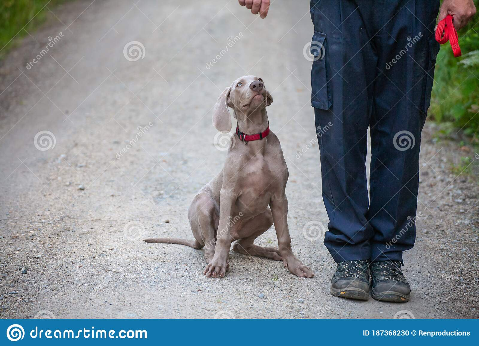 Weimaraner Puppy Takes His First Steps In Training Stock Photo Image Of Cute Medicine 187368230