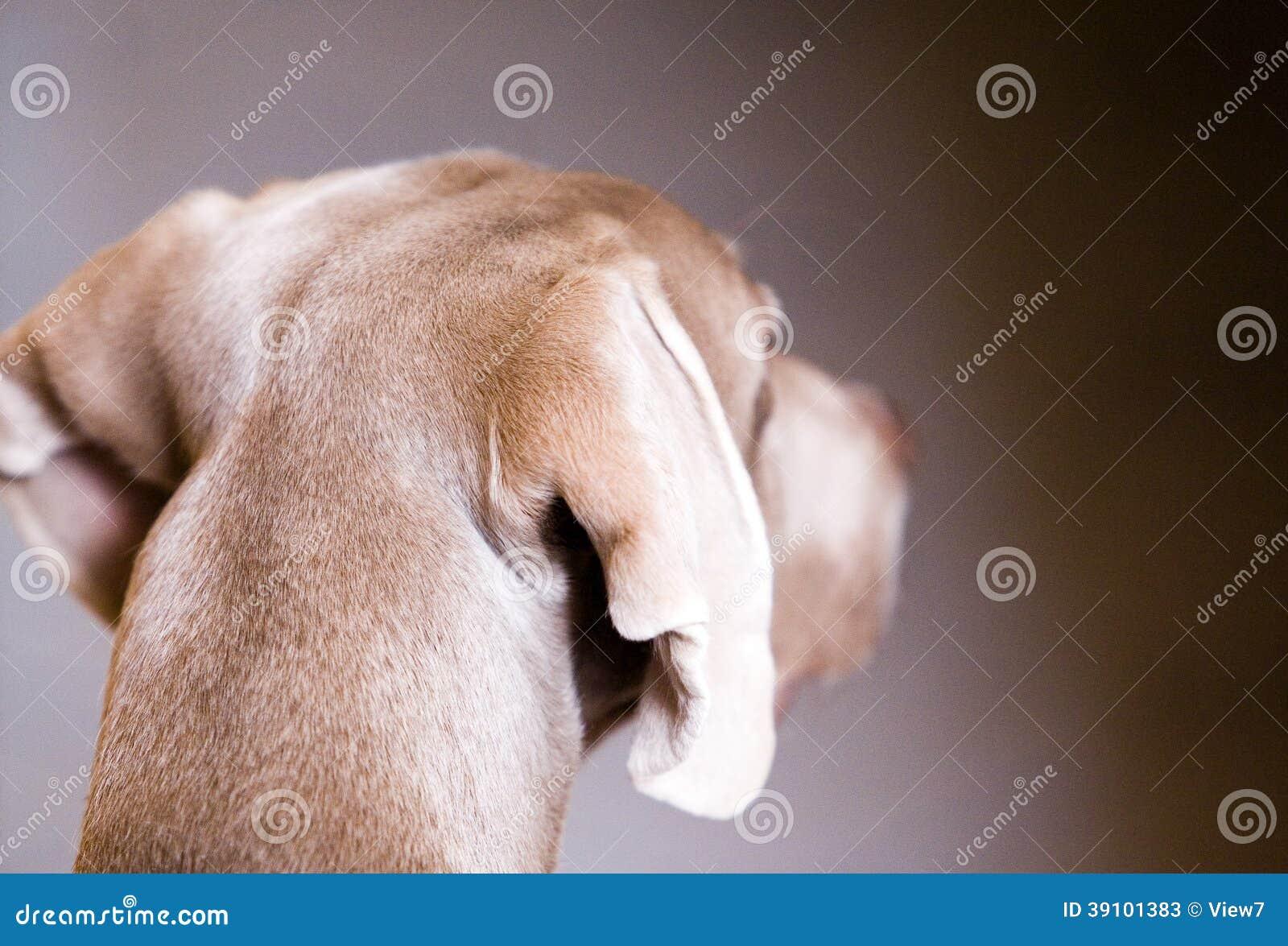 Weimaranerhond