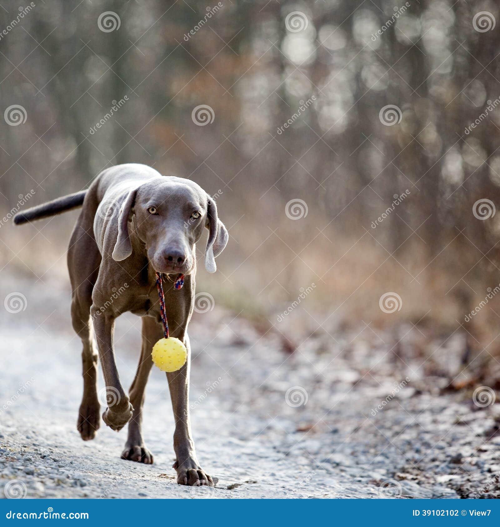 Weimaranerhond met een bal