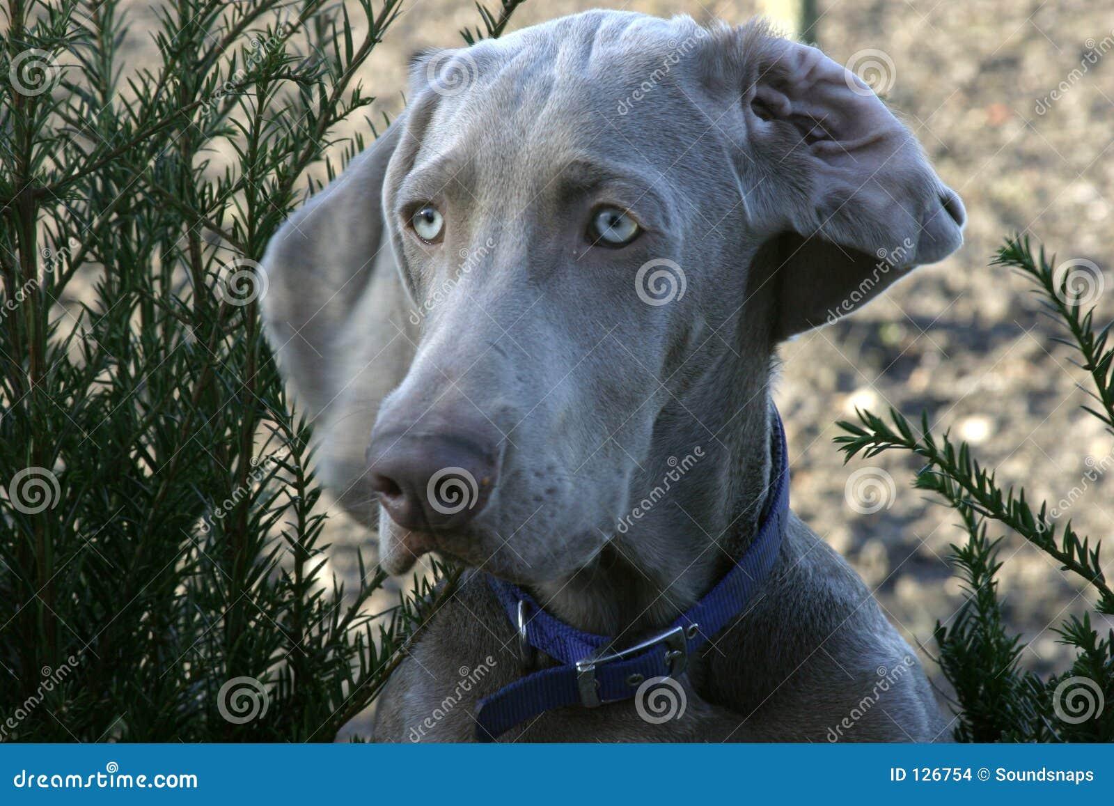 Weimeraner предохранителя собаки