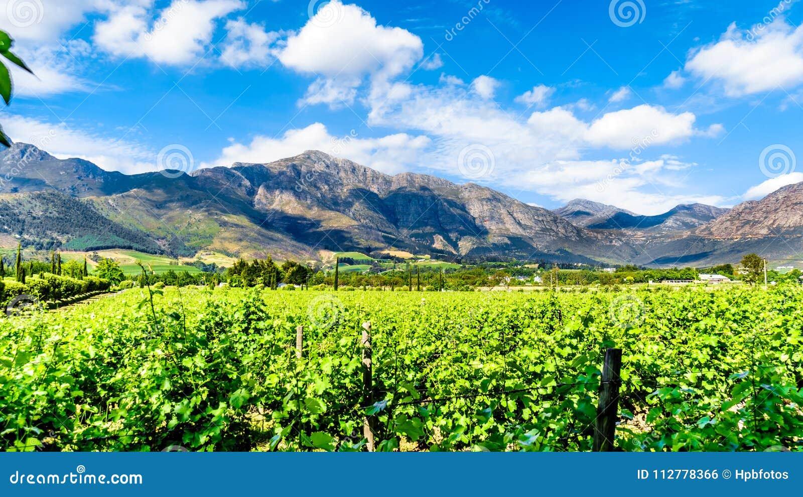 Weinberge des Kaps Winelands im Franschhoek-Tal im Westkap von Südafrika, unter dem umgebenden Drakenstein