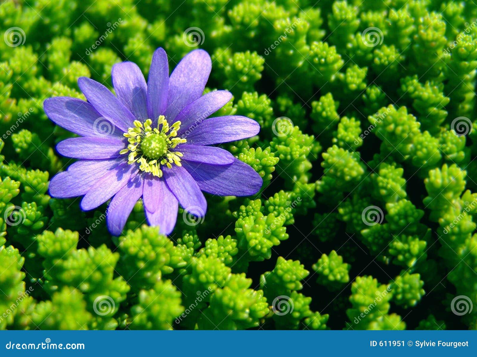 Weinig Blauwe Daisy.