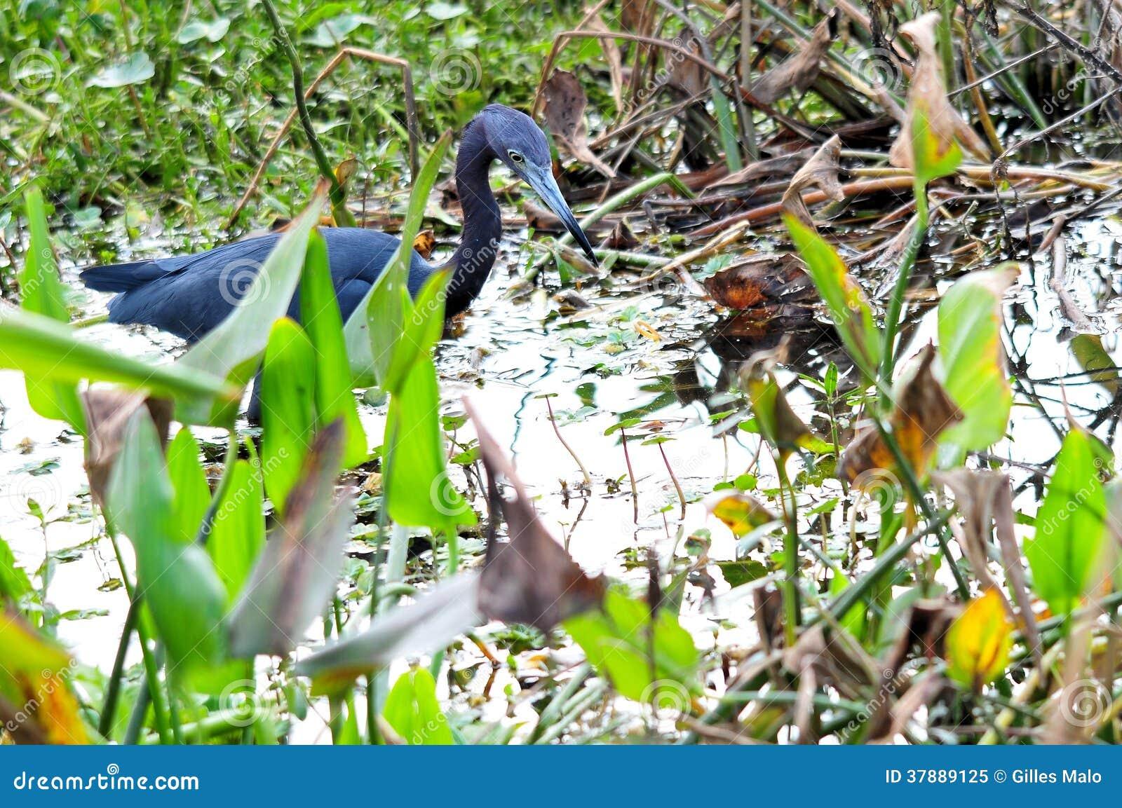 Weinig blauwe reiger in moerasland