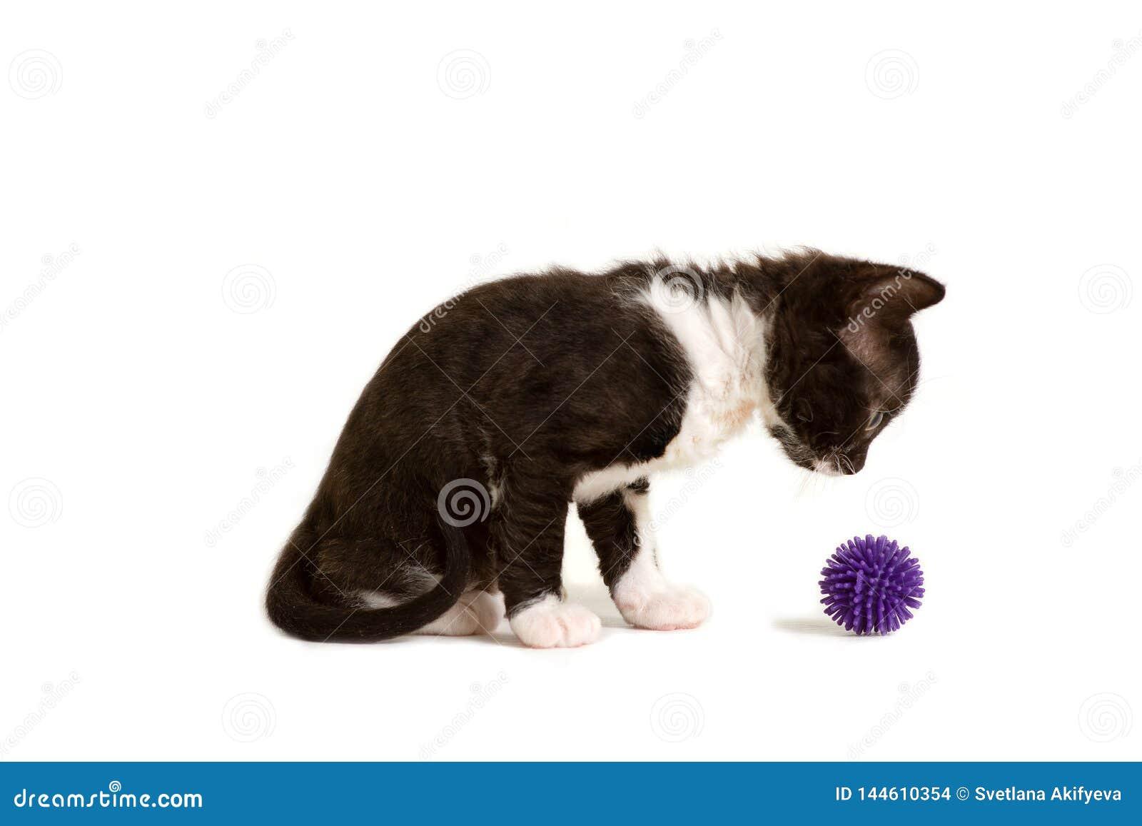 Weinig die katje Ural Rex zit en bekijkt de bal op wit wordt geïsoleerd Kleur: zwarte tweekleurig