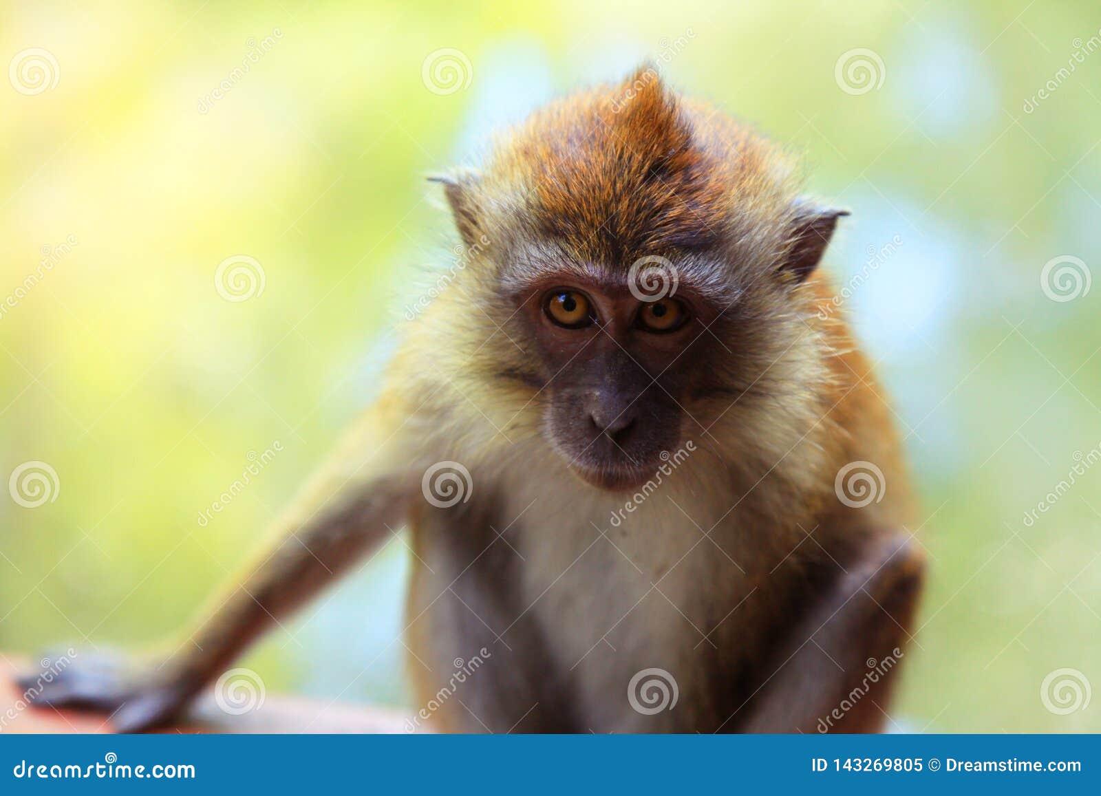 Weinig droevige aap
