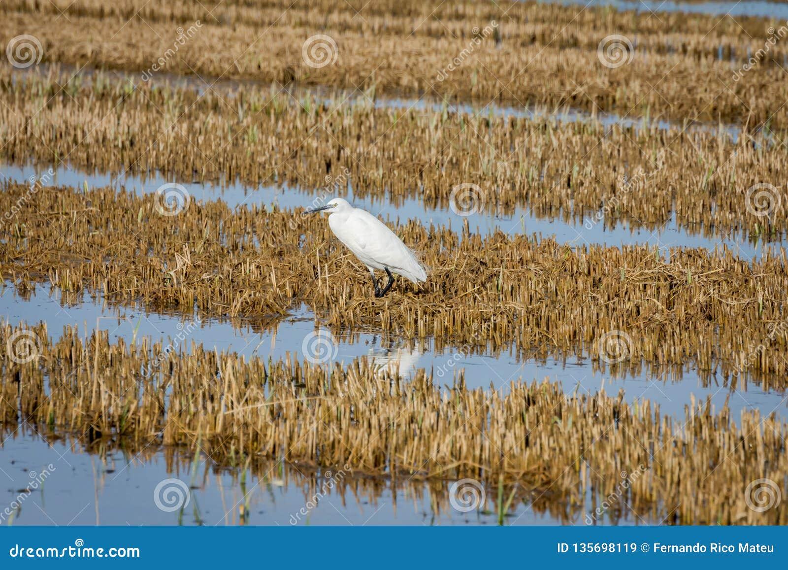 Weinig garzetta van aigretteegretta op het padieveld in het natuurreservaat van Albufera, Valencia, Spanje