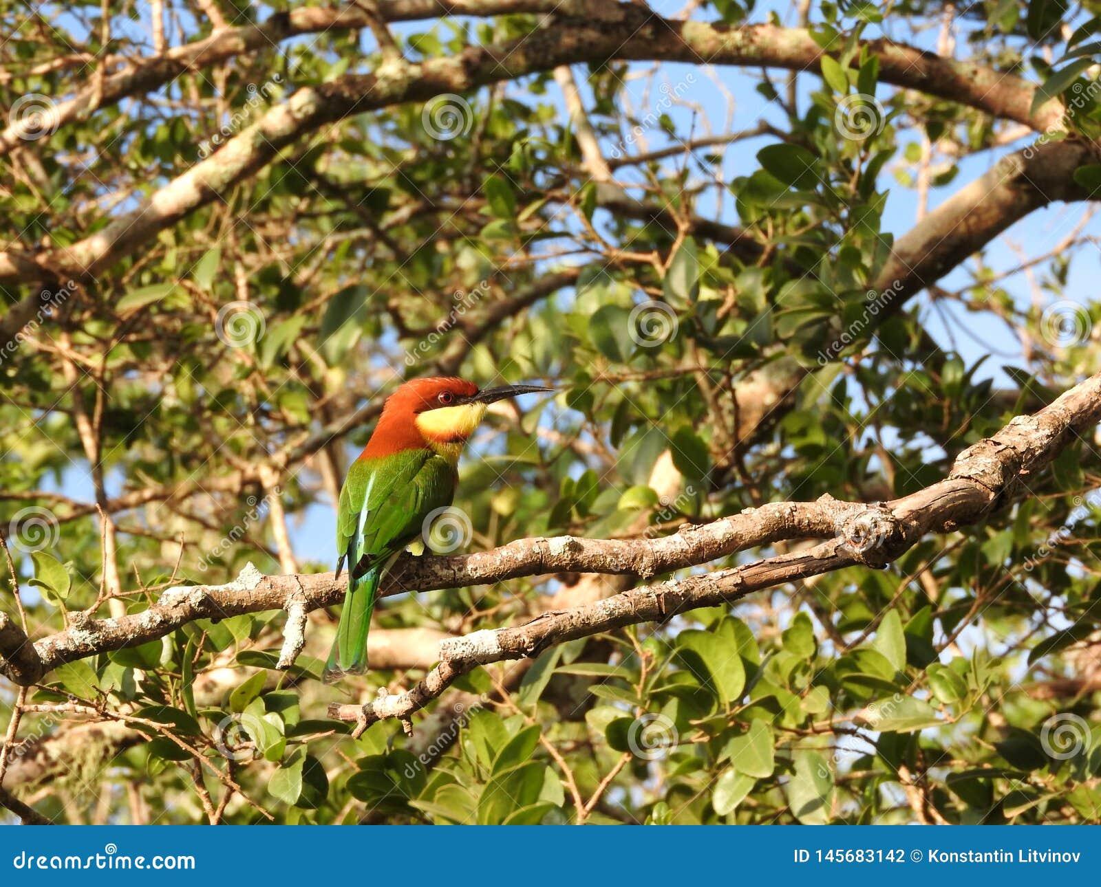 Weinig groene zitting van de bijeneter op een tak, aard Sri Lanka