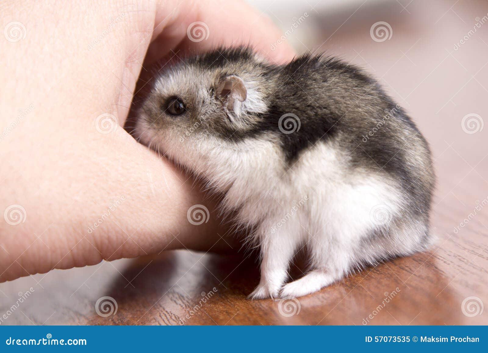 Weinig hamster in de hand