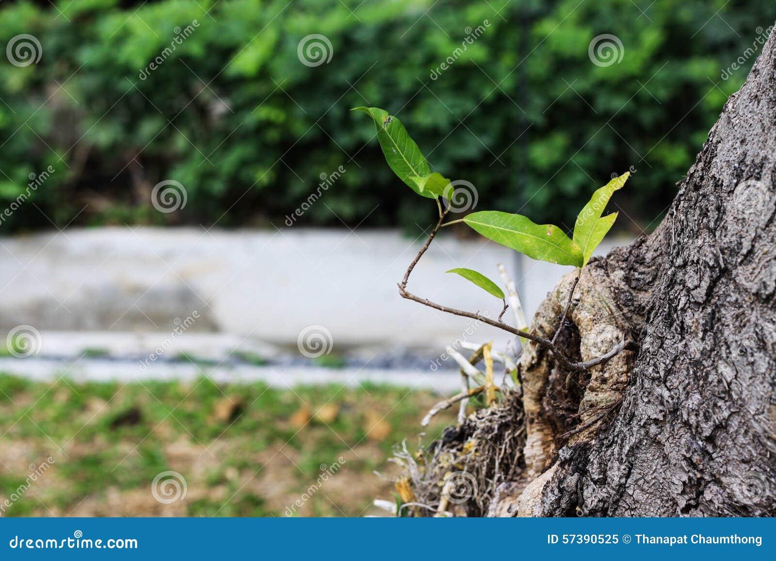 Weinig het groene groeien van oude boom