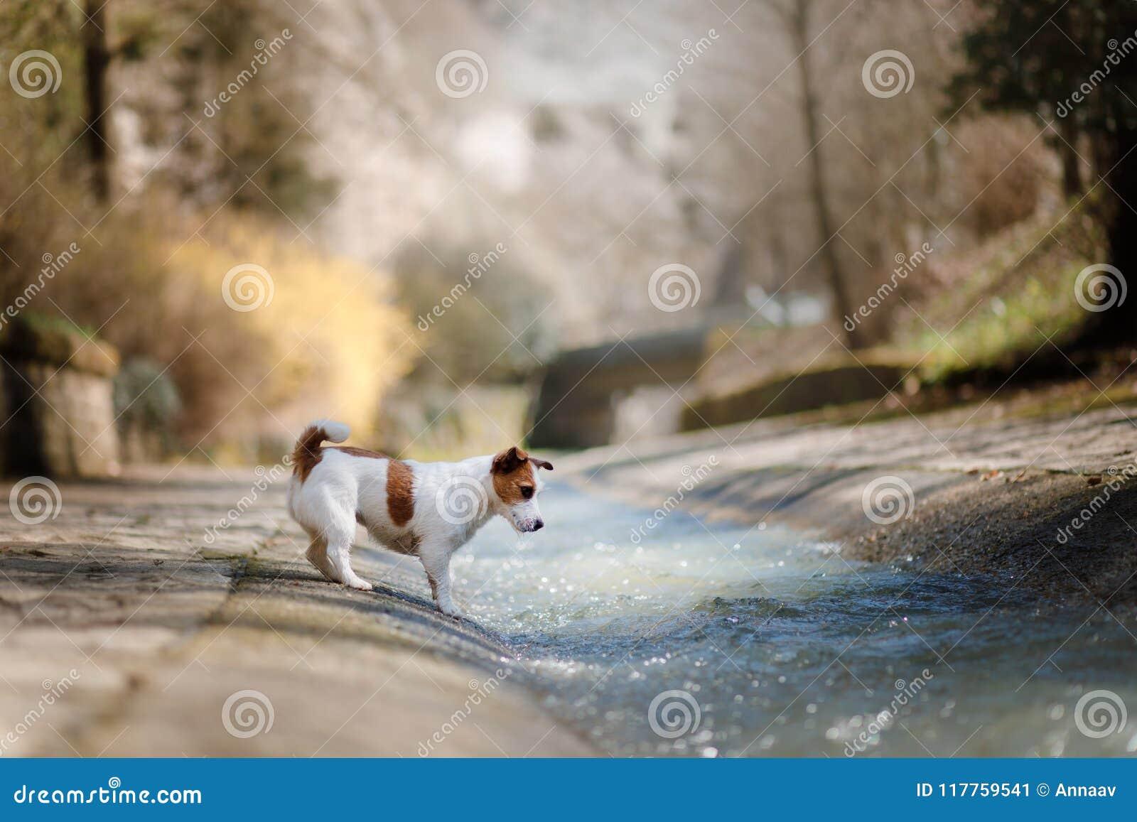 Weinig Hond Jack Russell Terrier Die Met Water Spelen Stock