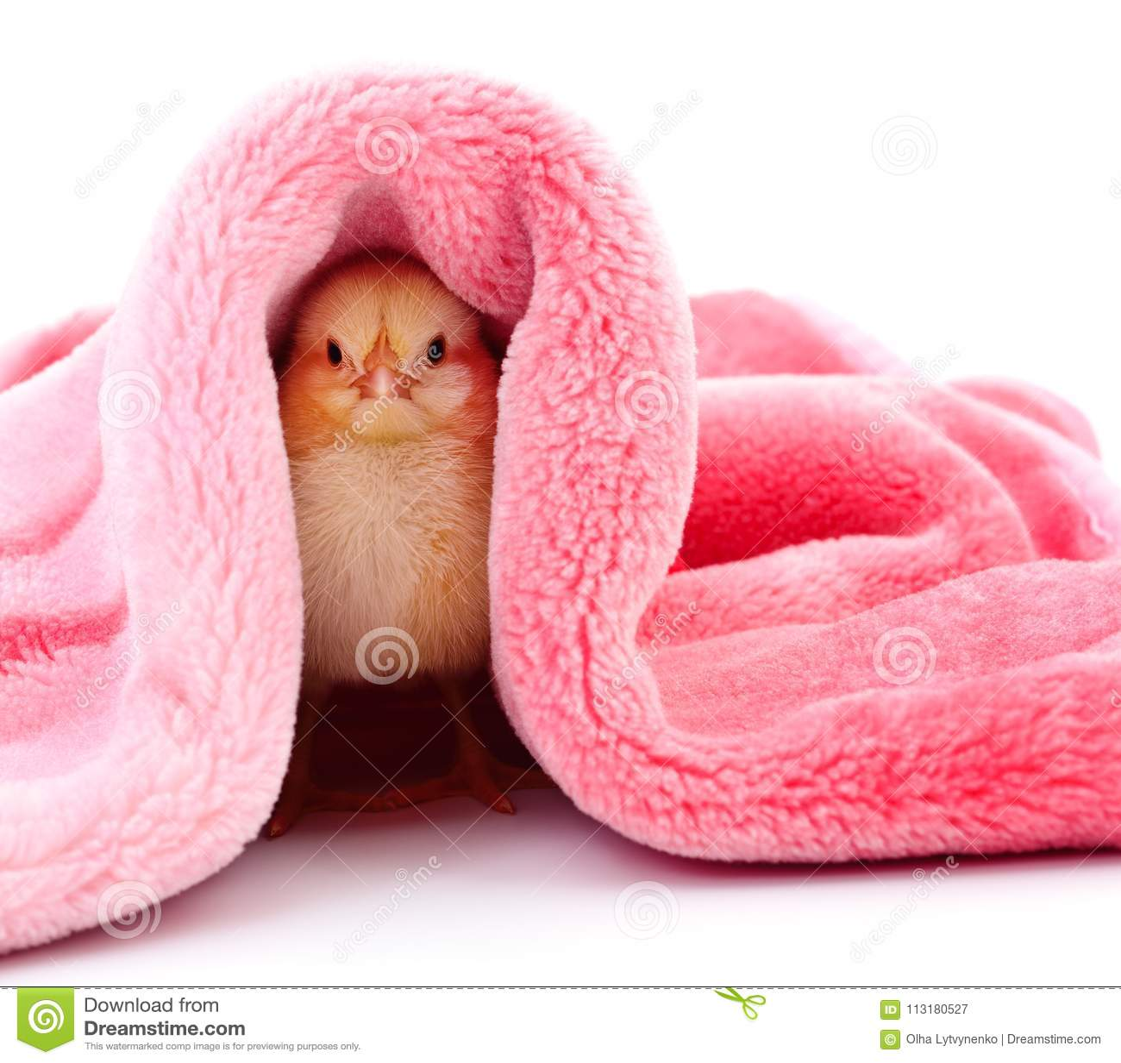 Weinig kip onder een deken