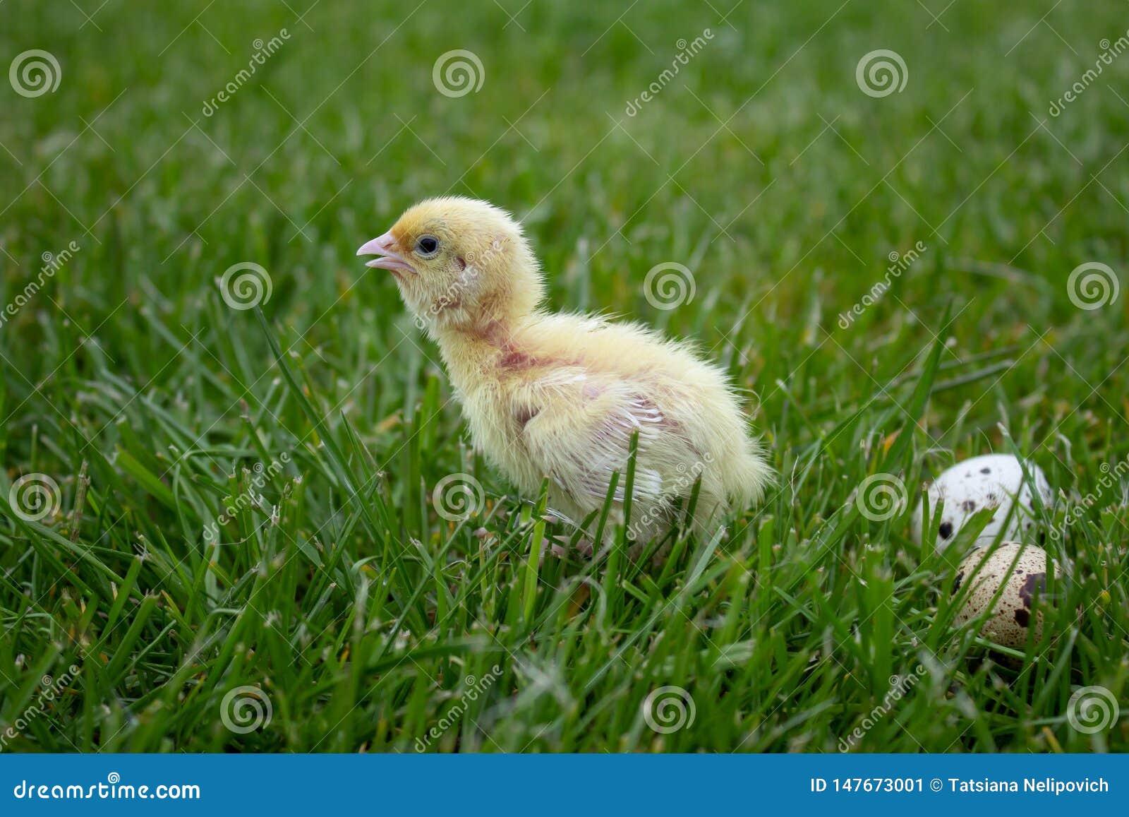 Weinig kwartelskuiken met eieren in groen gras Texas Quail