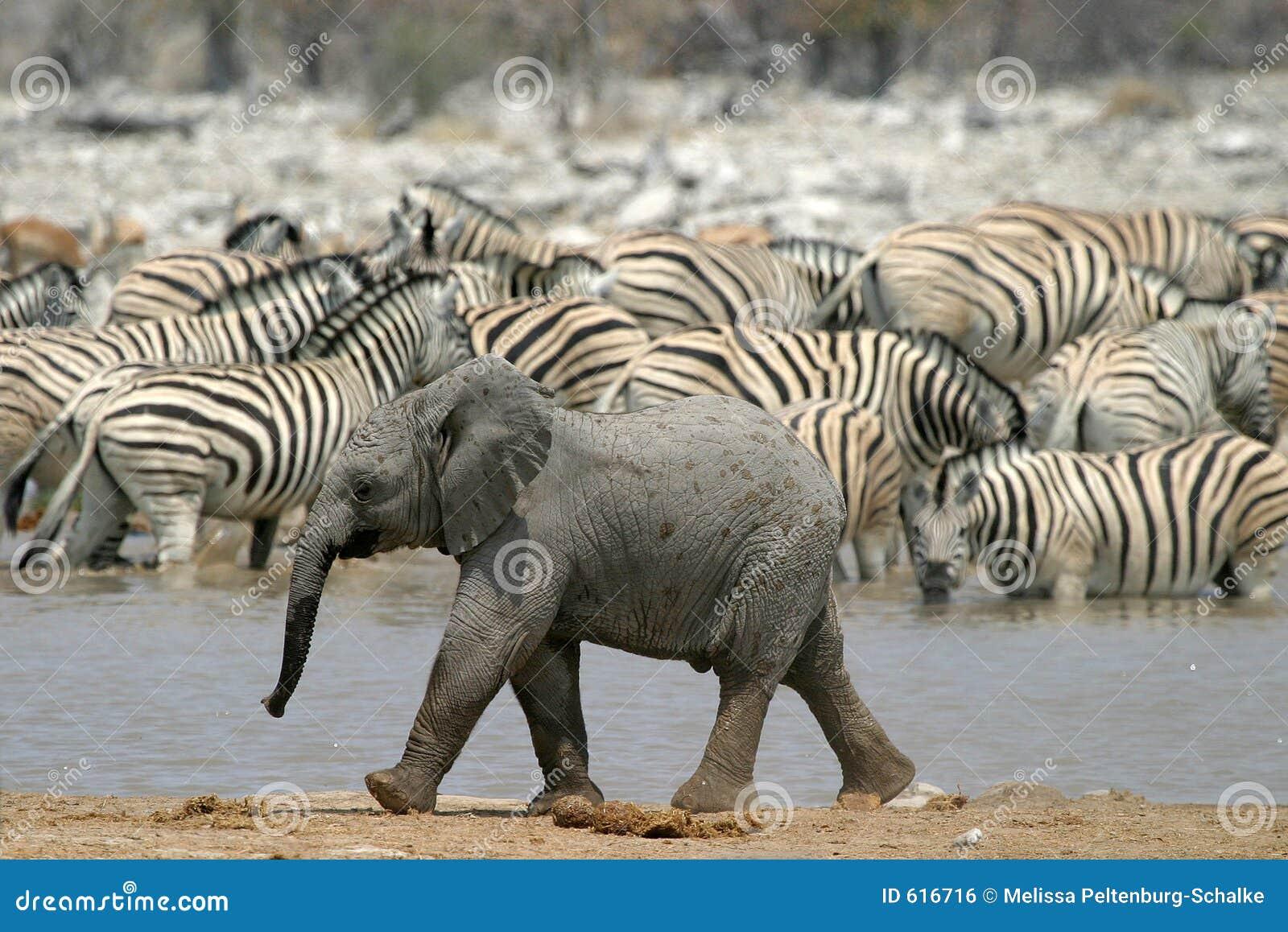 Weinig olifant