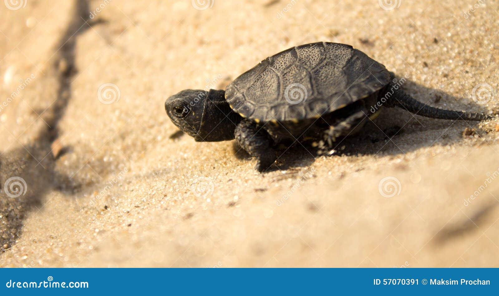 Weinig schildpad die op zand kruipen