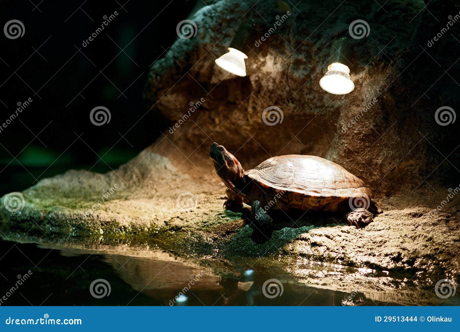 Weinig schildpad die zonnebaadt hebben