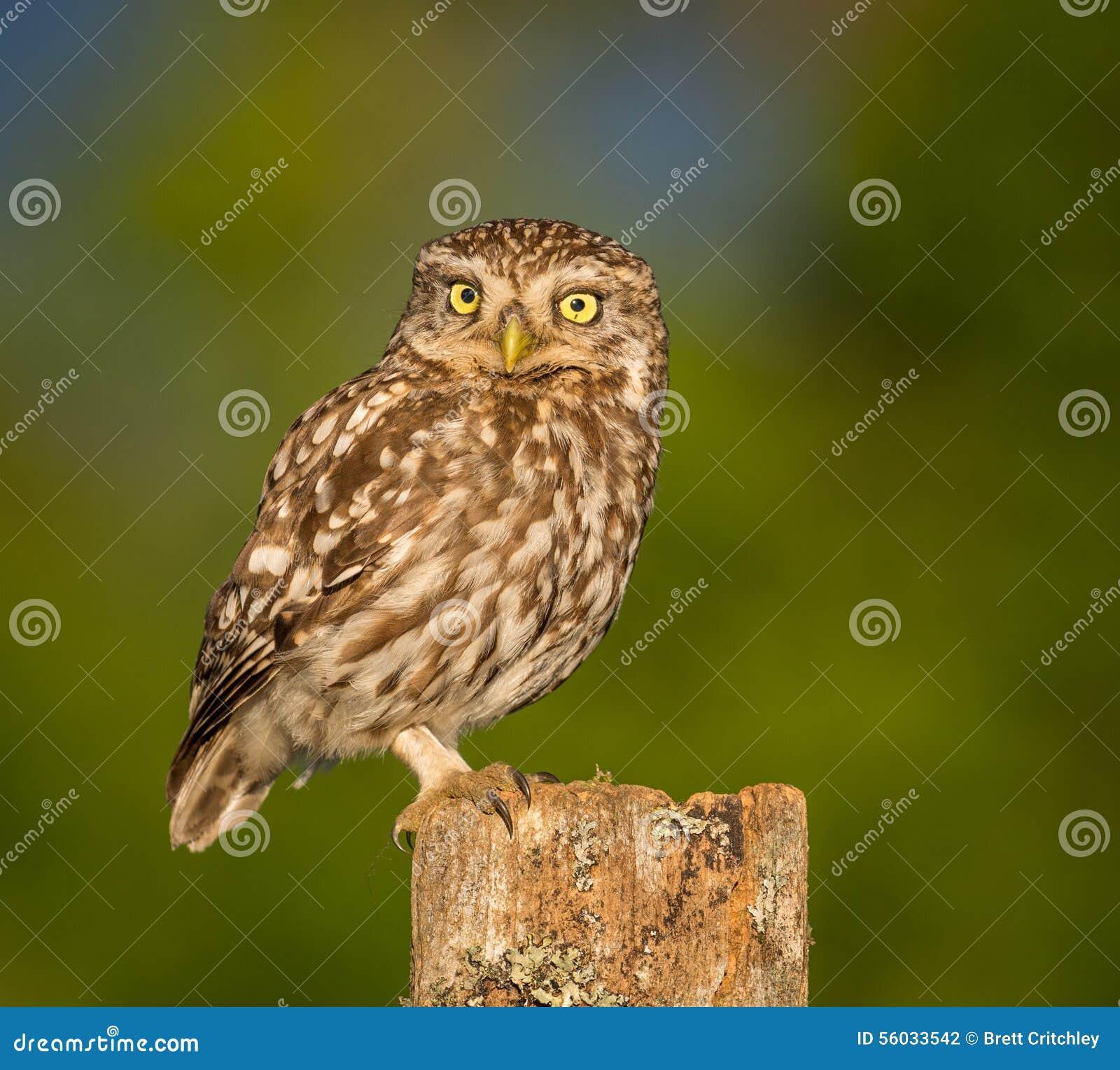 Weinig Vogel van de Uil