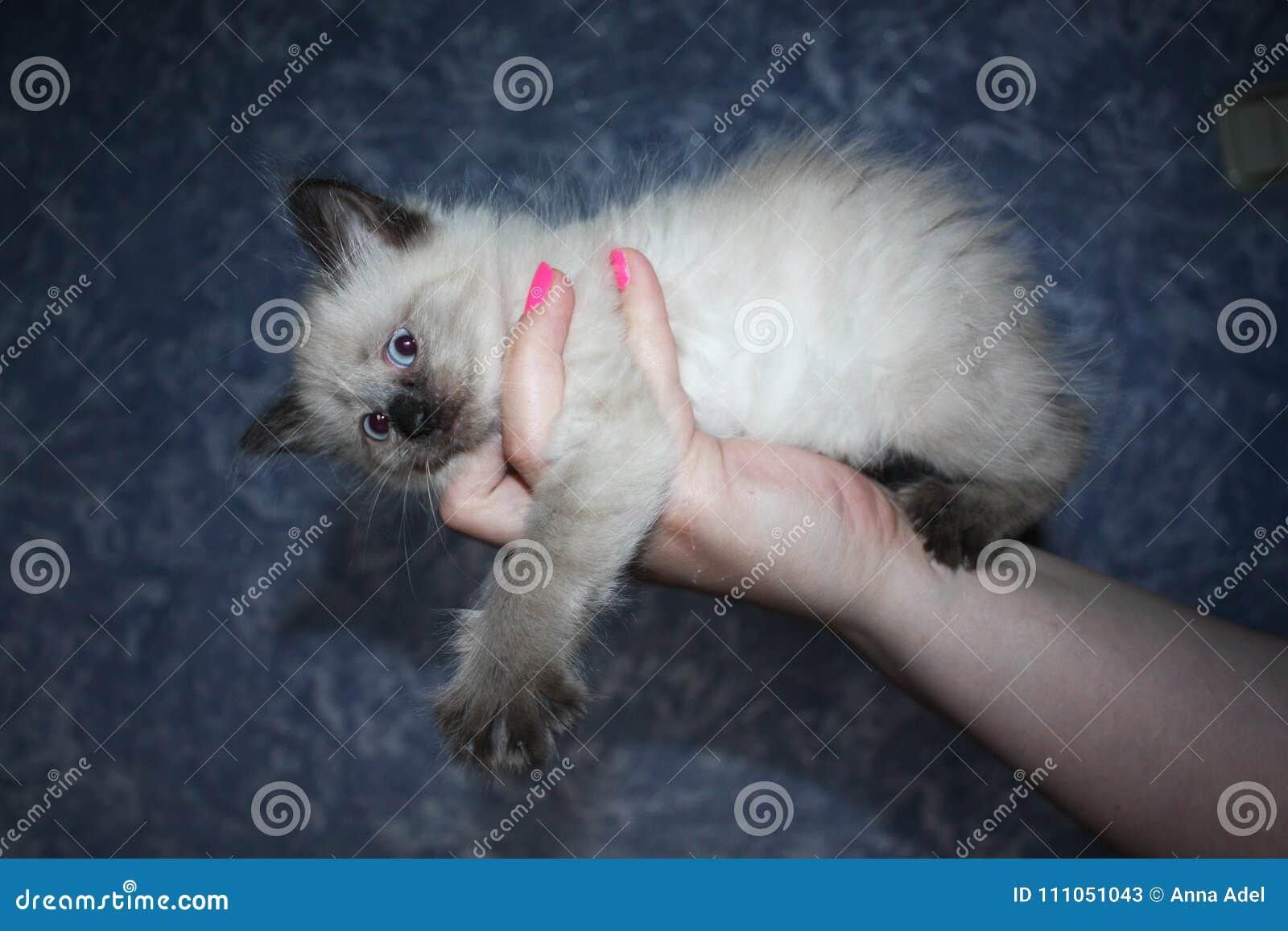 Weinig zwart-wit katje met blauwe ogen