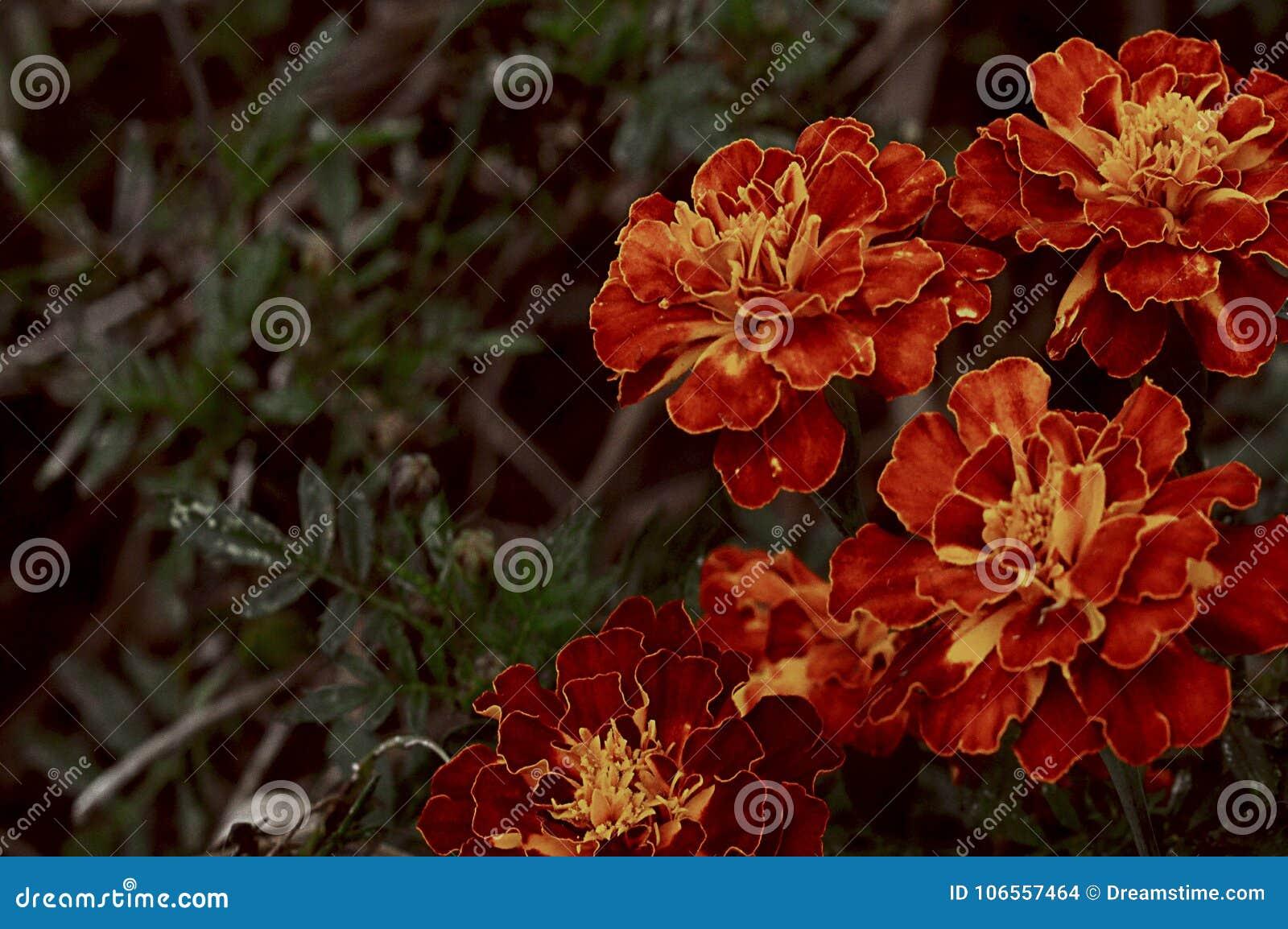 Weinlese-Rot blüht Retro- Herbst