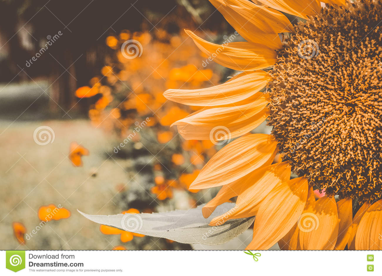 Weinlese-Sonnenblumen, die blühenden Sonnenblumen, färbt Blumen, Sonnenblumenfeld gelb