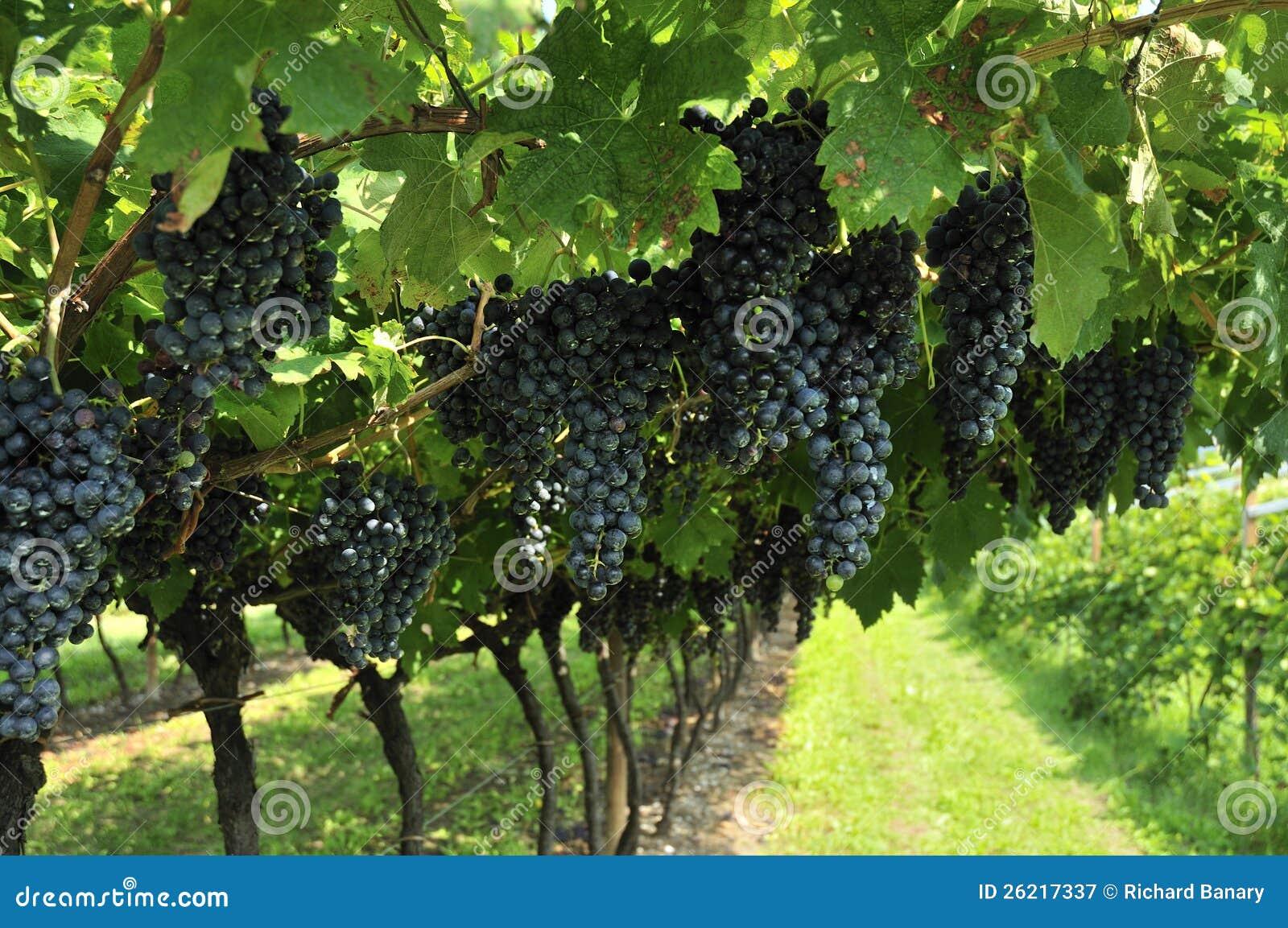 Bilder Blaue Weintrauben ~ Weintrauben Lizenzfreie Stockfotografie  Bild 26217337