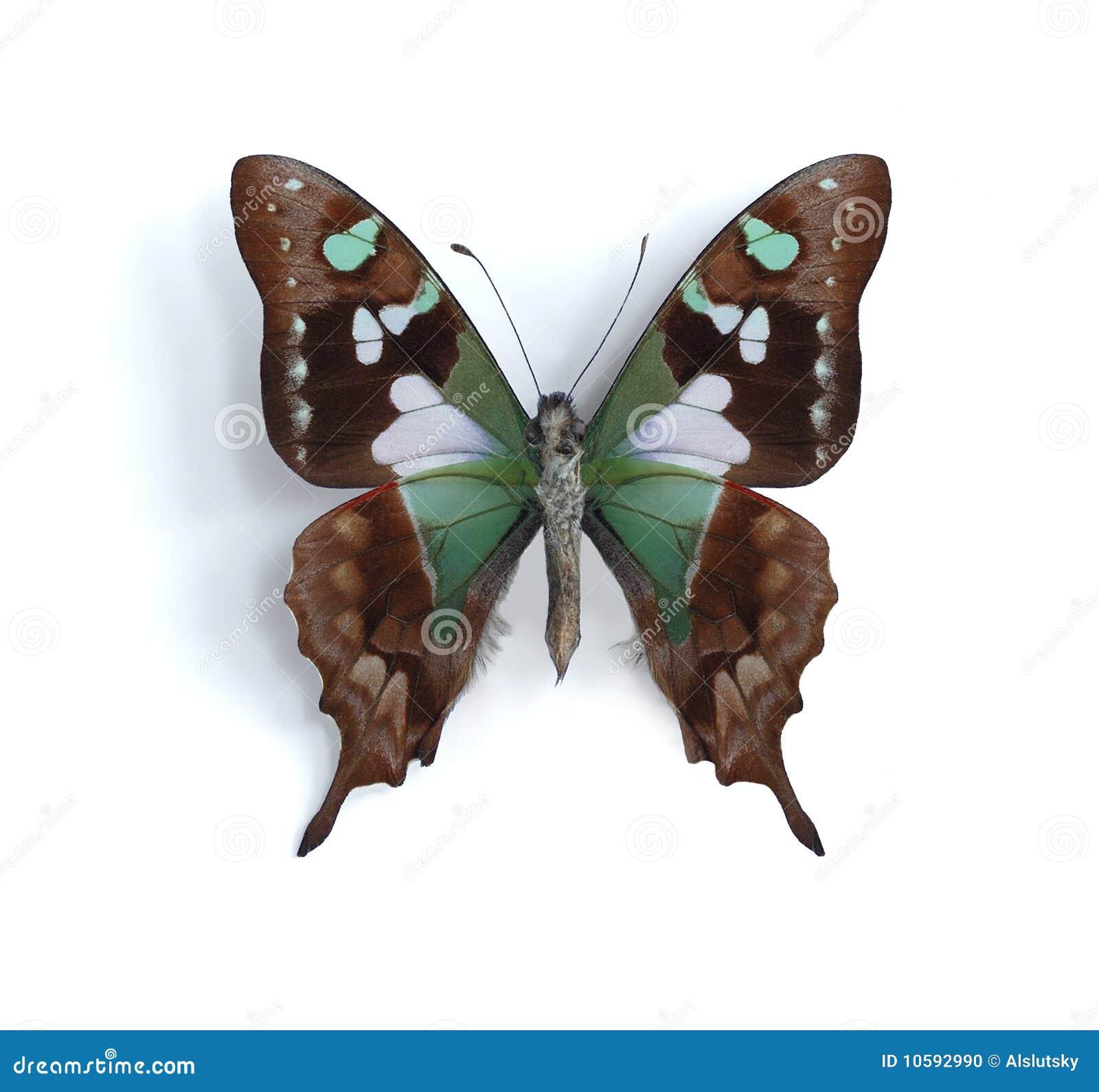 Weiskei de Graphium (Swallowtail repéré pourpré)