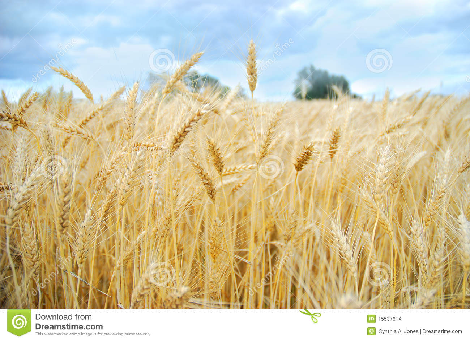Weizen-Feld-Ernte