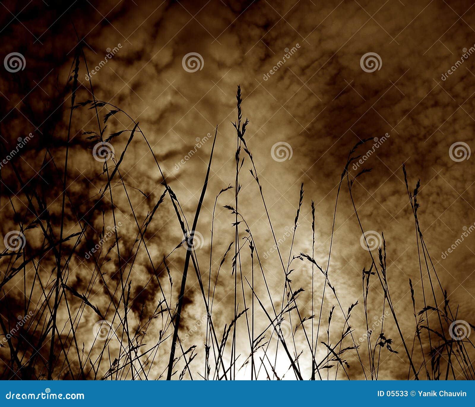 Weizen im Schattenbild