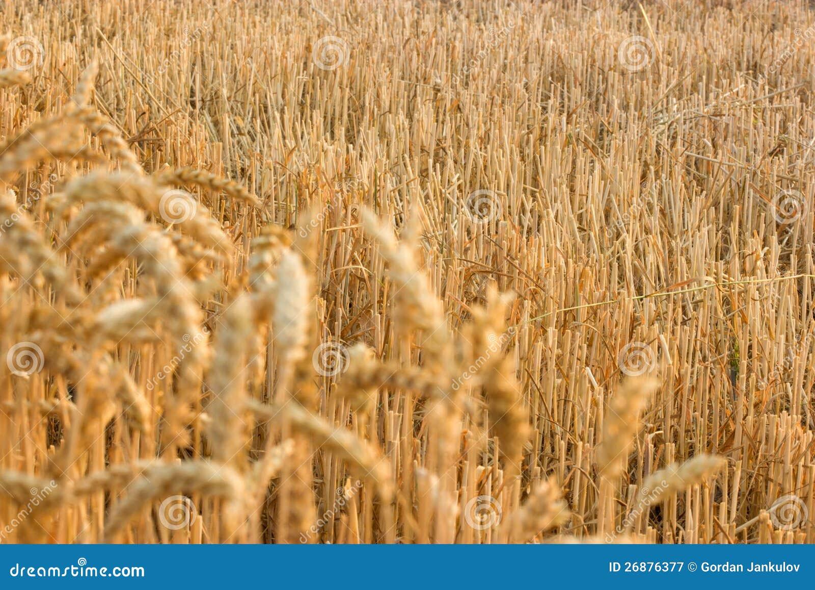 Weizen Stubble