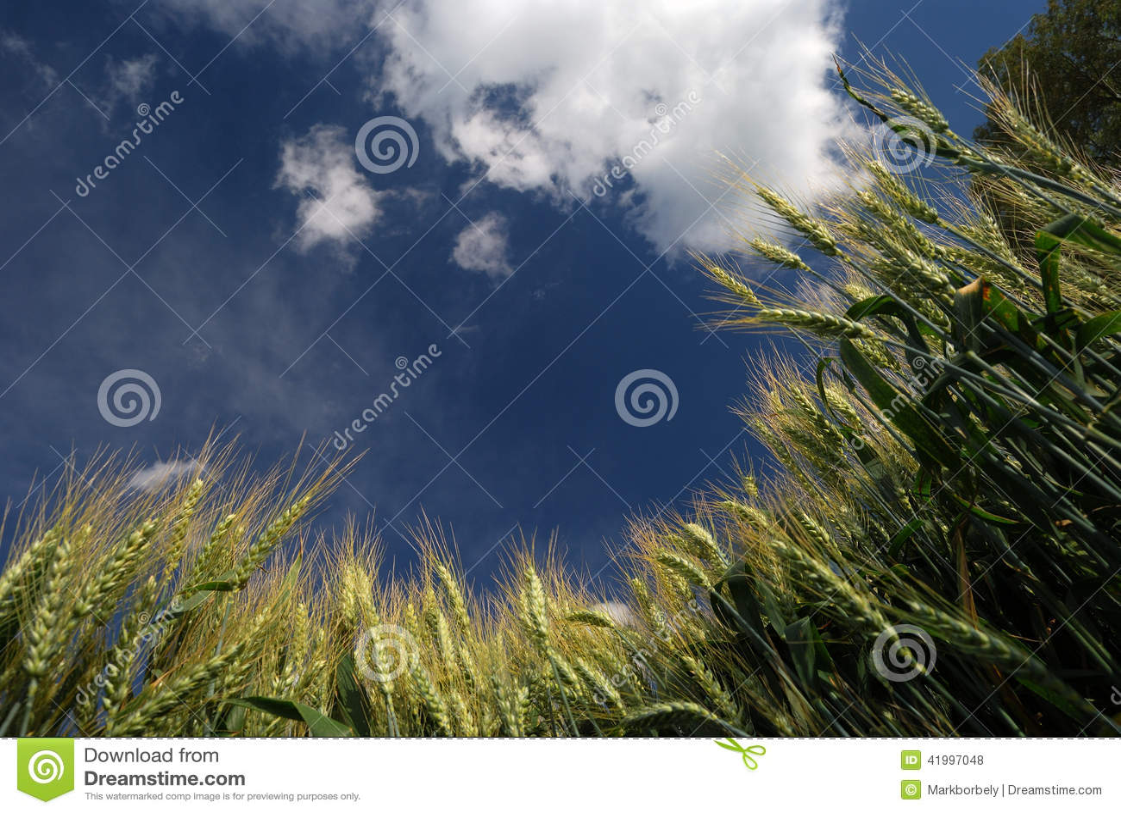 Weizen und blauer Himmel