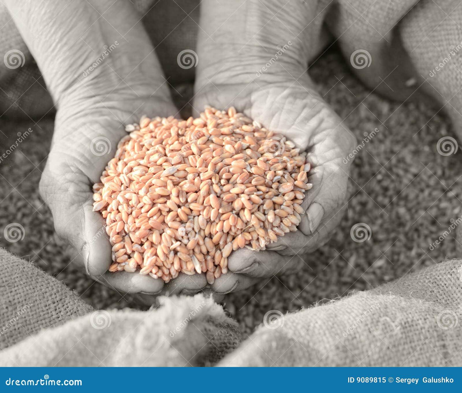 Weizen und Hände des alten Landwirts