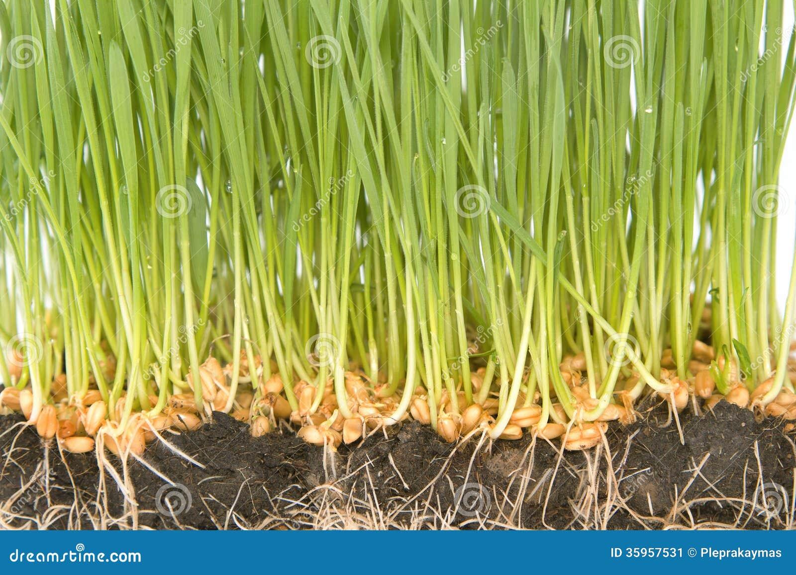 Weizensamen mit grünen Sprösslingen