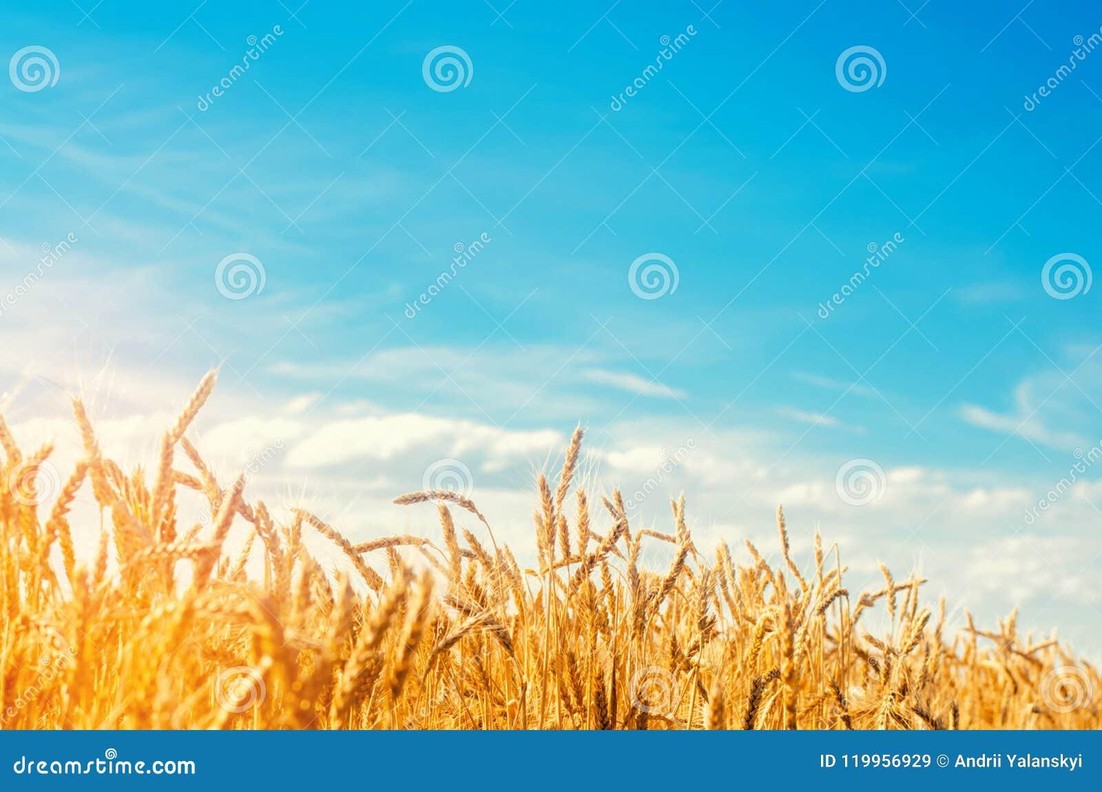 Weizenspitze und Nahaufnahme des blauen Himmels Ein goldenes Feld Schöne Ansicht Symbol der Ernte und der Ergiebigkeit Ernten, Br