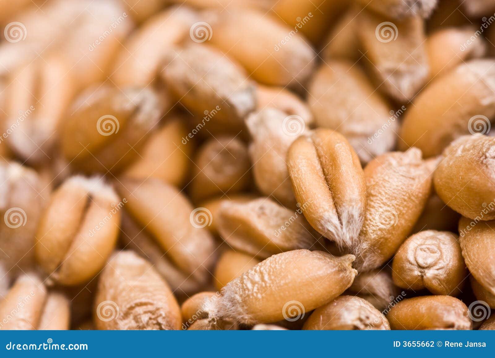 Weizenstartwerte für zufallsgenerator
