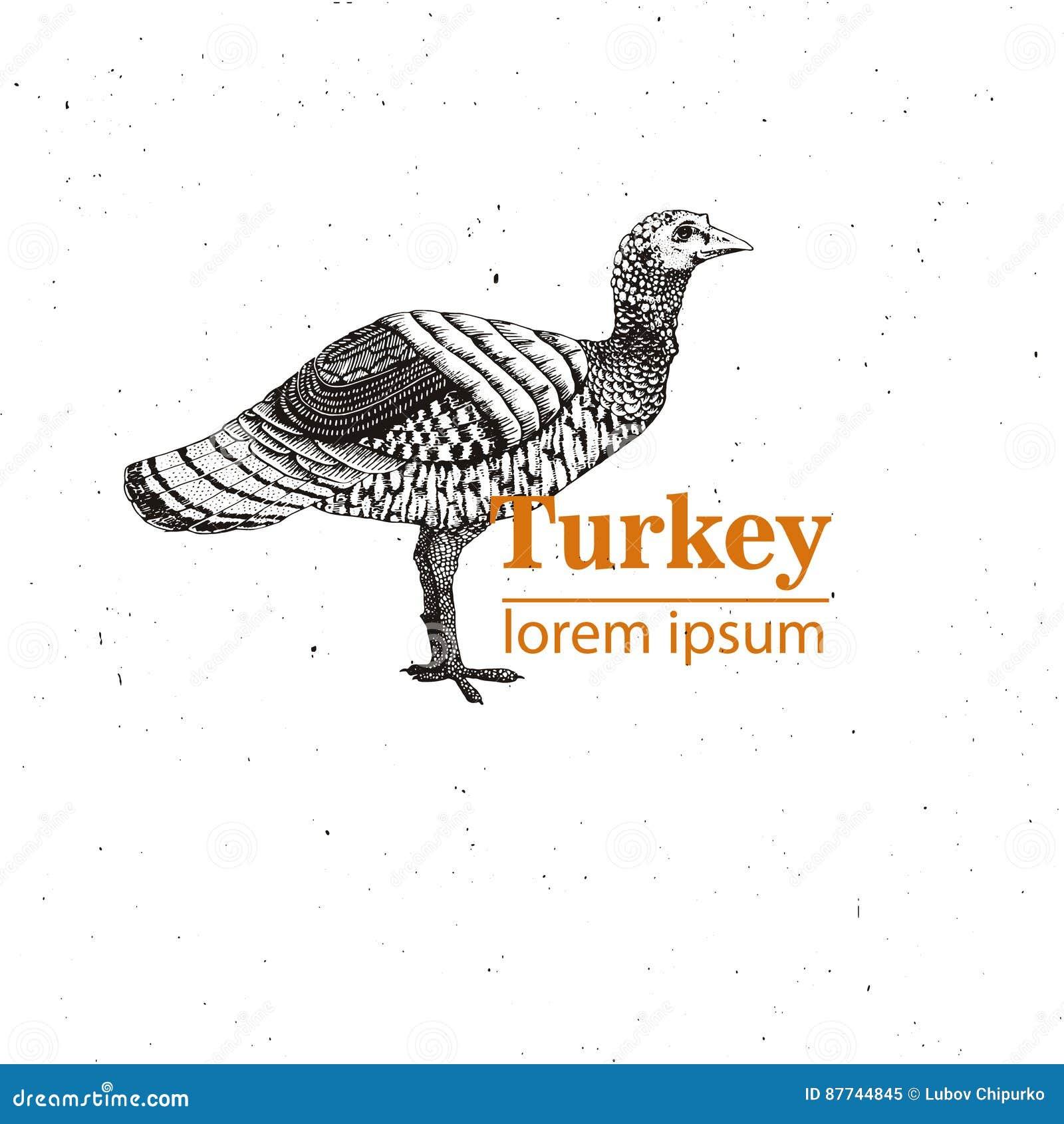 Wektorowa ilustracja - ptasi młody indyk, rocznika rytownictwa styl Natura - nakreślenie Odosobniony ptactwo wizerunek na bielu