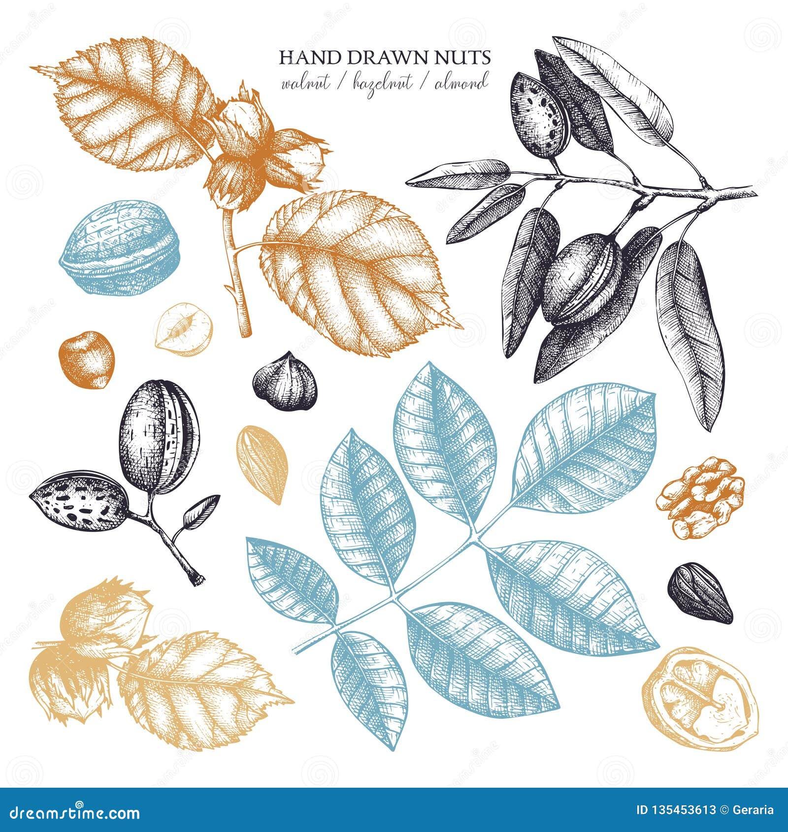 Wektorowa kolekcja ręki rysujący dokrętek nakreślenia Rocznik ilustracje orzech włoski, hazelnut i migdał, Botaniczni liście, owo