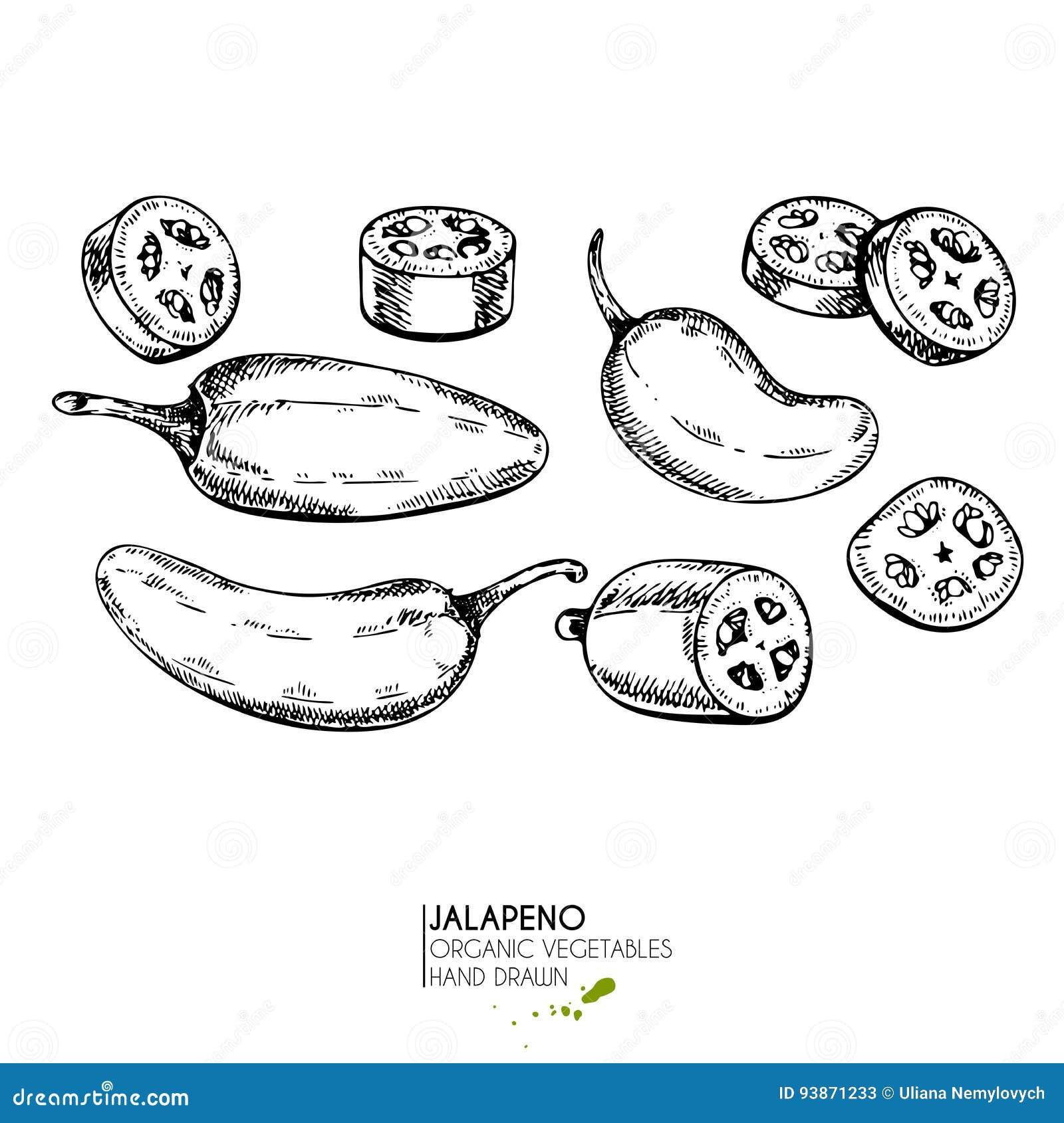 Wektorowa ręka rysujący set rolni warzywa Odosobniony gorący chili jalapeno pieprz Grawerująca sztuka Organicznie kreślący jarosz