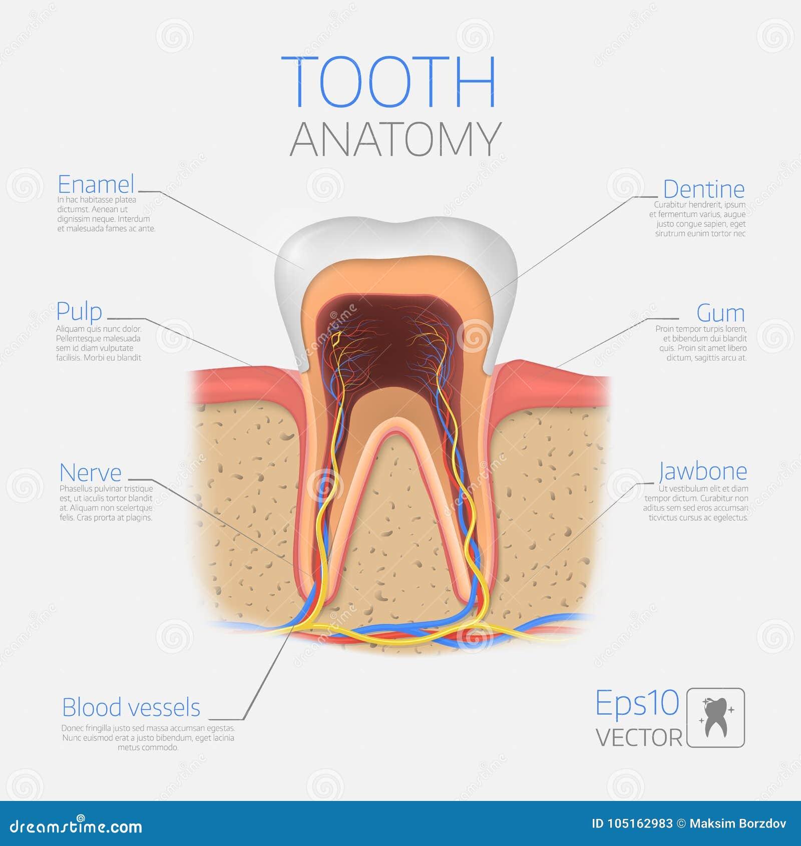 Wektorowa ząb struktura Przekrój Poprzeczny anatomia z wszystkie częściami