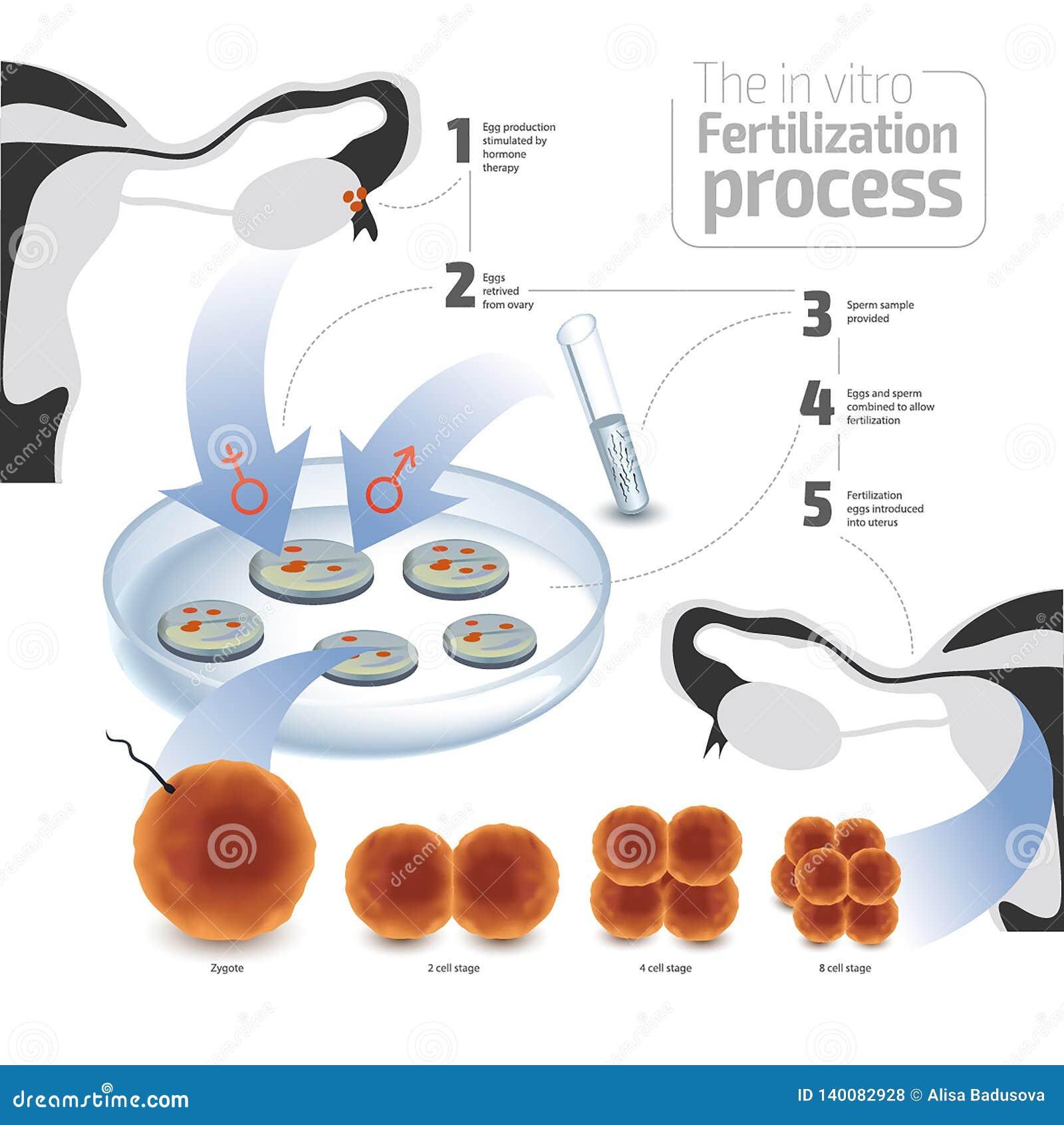 Wektorowy ilustracyjny pojęcie nawożenie in vitro Kolorowy na białym tle