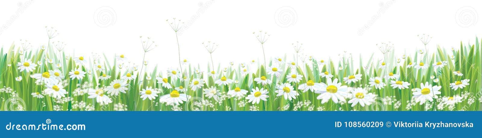 Wektorowy kwitnie stokrotka kwiatów pole