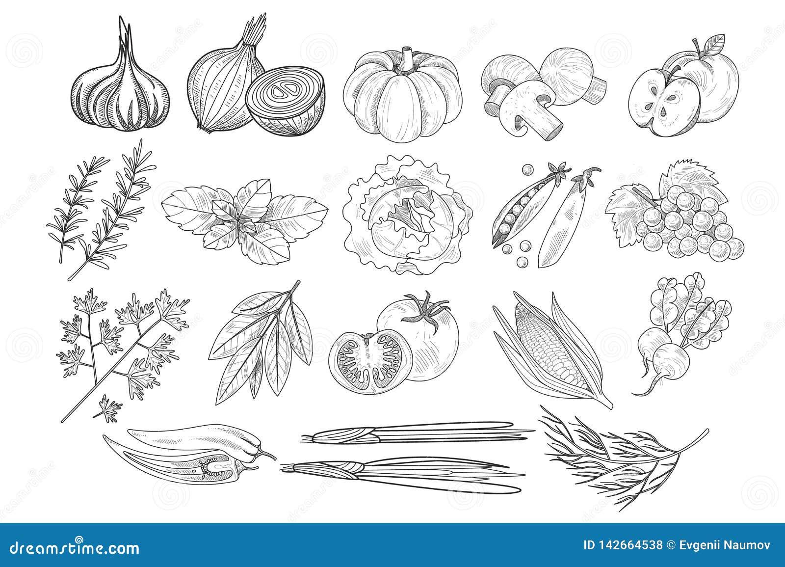 Wektorowy ustawiający owoc, warzywa i ziele w nakreśleniu, projektujemy Cebula, bania, pieczarki, jabłko, kapusta, grochy, kukuru