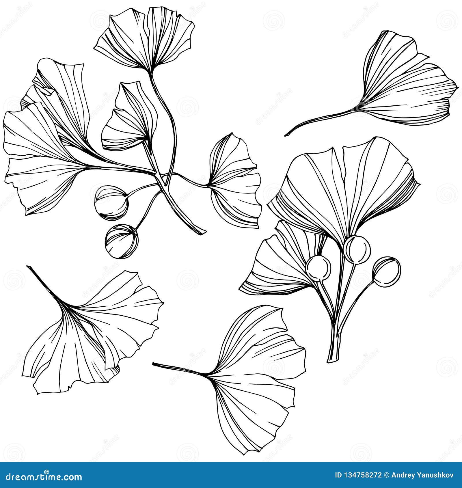 Wektoru ginkgo ilustracji Odosobniony element Liść rośliny ogródu botanicznego ulistnienie Czarny i biały grawerująca atrament sz
