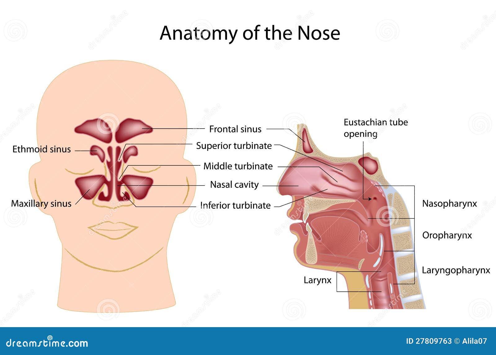 Groß Endoskopische Anatomie Der Nase Ideen - Menschliche Anatomie ...