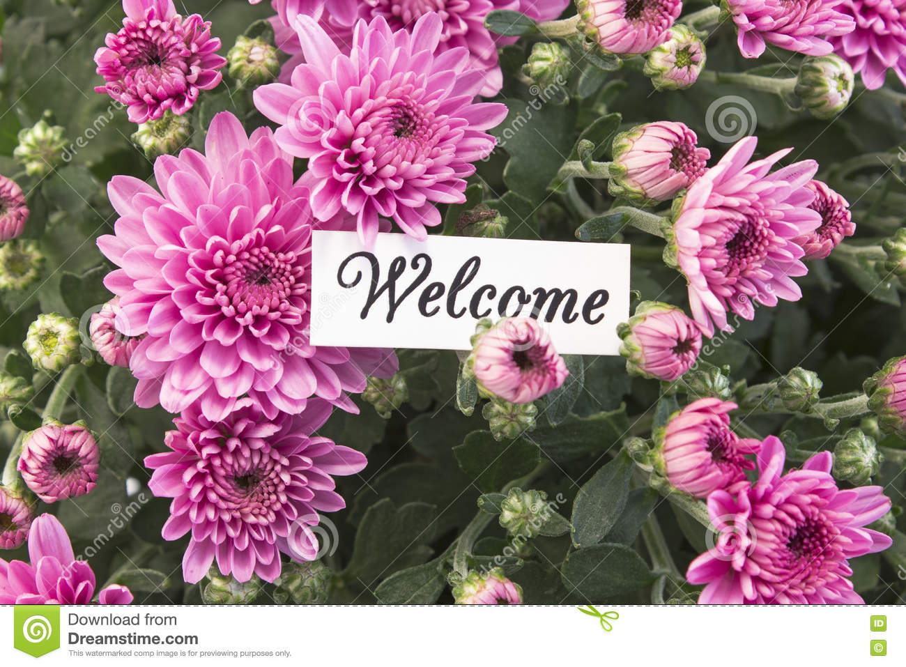 Welcome Card With Bouquet Of Pink Chrysanthemums Stock Image Image