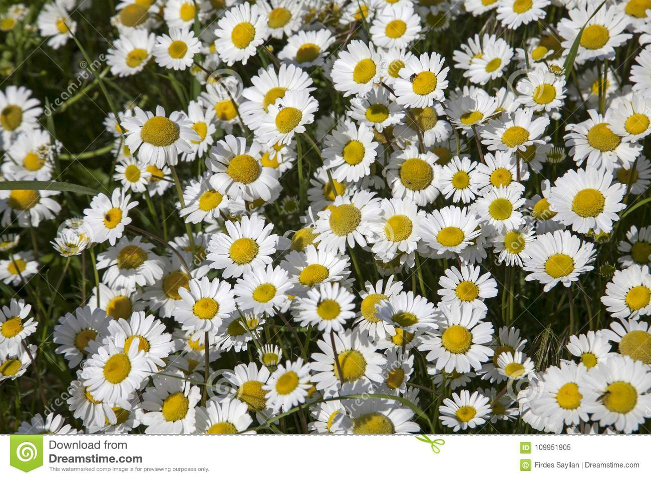 Welcome Springwild Daisies Stock Image Image Of Flowers Daisies