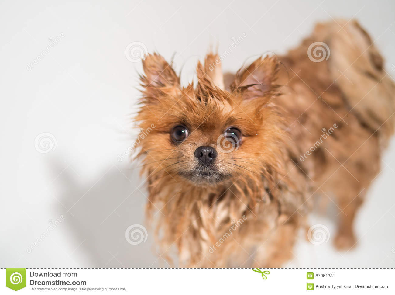 Well Groomed Dog Grooming Grooming Of A Pomeranian Dog Funny
